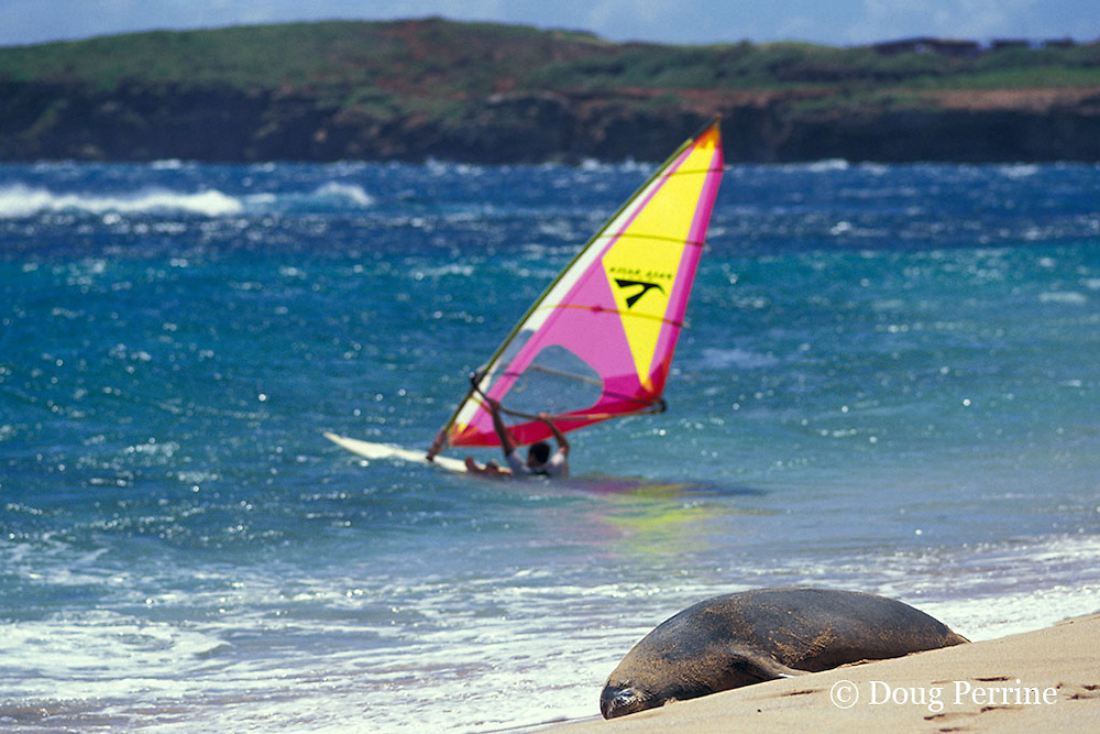 Critically Endangered Hawaiian monk seal, Monachus schauinslandi, resting on beach, and windsurfer, Kauai, Hawaii ( Central Pacific Ocean )