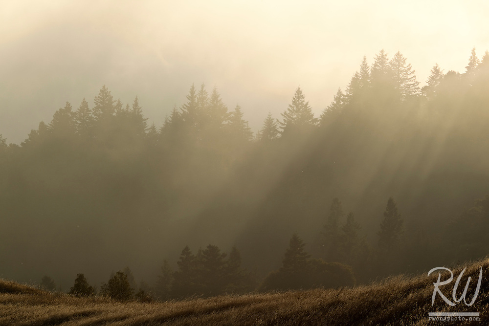 Sunset Light in Forest Diffused by Foggy Marine Layer, Mount Tamalpais State Park, California