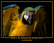 Blue and Gold Macaw, poster (20x16-inch)