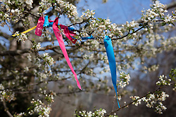 colorful ribbons on a Cherry Blossom Tree