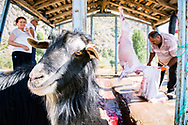 Munzur Valley, Turkey    - July 26, 2014 - A goat calmly awaits its turn to be ritually sacrificed near the source of the Munzur River. CREDIT: Michael Benanav for The New York Times