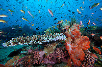 Hard and Soft Corals, Anthias