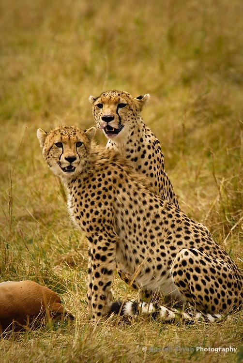 Two Cheetahs with an Impala kill in the Masai Mara National Park, Kenya