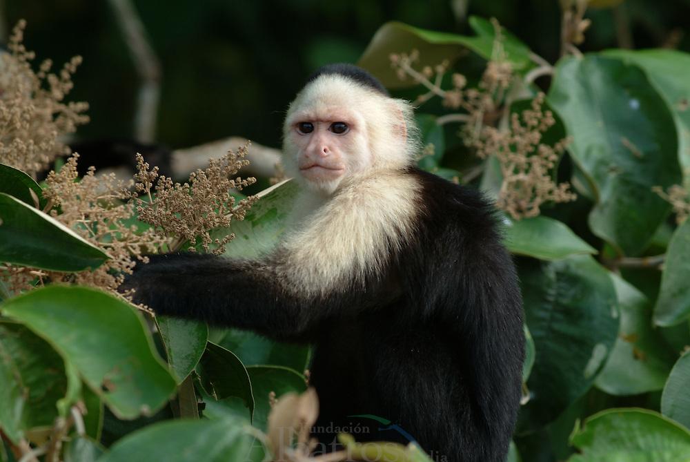 El mono carablanca, maicero cariblanco, capuchino, tanque, mach&iacute;n, caurara o carita blanca1 (Cebus capucinus) es un mono del nuevo mundo de tama&ntilde;o medio perteneciente a la familia Cebidae.<br /> <br /> Es nativo de los bosques de Am&eacute;rica Central y de la parte m&aacute;s noroccidental de Sudam&eacute;rica y muy valioso por su papel como dispersador de semillas y polen. En los &uacute;ltimos a&ntilde;os se ha convertido en una especie muy popular en Norteam&eacute;rica.<br /> <br /> Es un mono de tama&ntilde;o mediano, que alcanza en peso hasta 3.9 kg (1500 - 4000 g). Son casi completamente negros, pero tienen cara rosada y pelo blanco en gran parte del frente de su cuerpo, por eso se les llama com&uacute;nmente &quot;cariblancos&quot;.<br /> <br /> En su h&aacute;bitat natural es muy vers&aacute;til, adapt&aacute;ndose a varios tipos de bosques y consumiendo muchos tipos de comida que incluyen frutas, diferentes vegetales, invertebrados y peque&ntilde;os vertebrados. Viven en grupos que incluyen machos y hembras y que pueden exceder los 20 individuos. Se ha documentado que esta especie es capaz de recurrir a la creaci&oacute;n y uso de herramientas como armas o instrumentos para obtener comida.<br /> <br /> En Panama se pueden encontrar ocho diferentes especies de primates, de los cuales varios son considerados end&eacute;micos. &copy;Alejandro Balaguer/ Fundacion Albatros Media