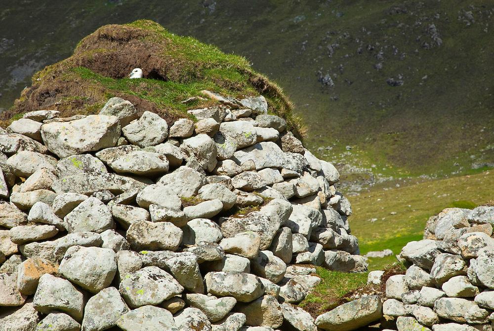 Fulmar (Fulmarus glacialis). Pueblo de St. Kilda. Village Bay. Isla St. Kilda. Outer Hebrides. Scotland, UK