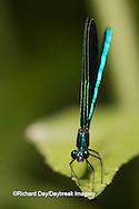 06014-001.19 Ebony Jewelwing (Calopteryx maculata) male, Lawrence Co. IL