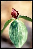Trillium (Trillium luteum) flower about to blossom in summer; St. Louis, Missouri