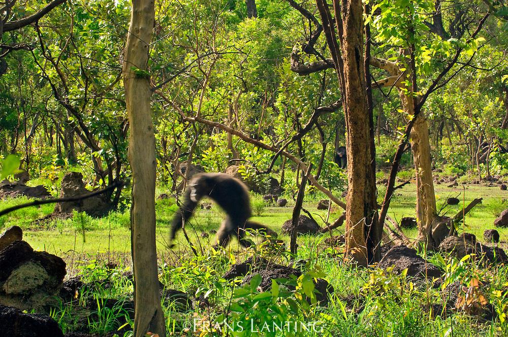 Chimpanzee male walking, Pan troglodytes verus, Fongoli, Senegal
