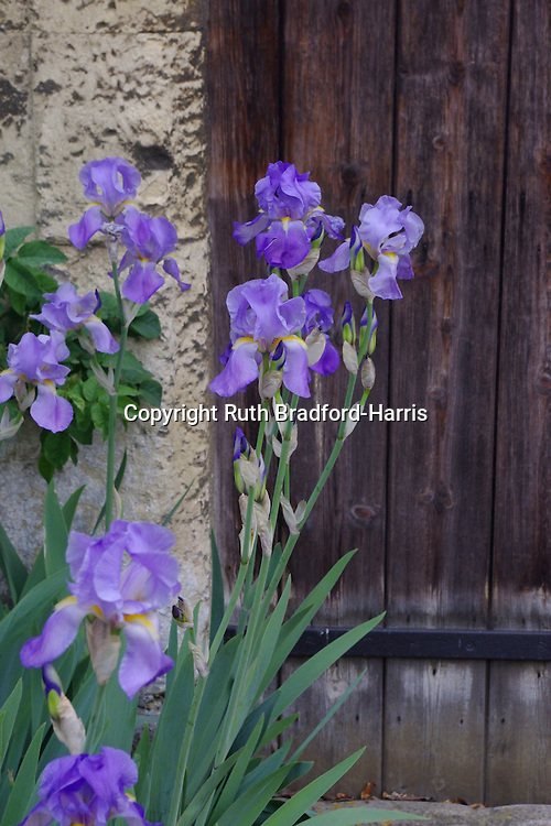 Glowing violet Iris sibirica at a doorway of a Medieval building at Lacock Abbey, Wiltshire.<br /> <br /> Date taken: 01 May 2011.