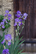 Glowing violet Iris sibirica at a doorway of a Medieval building at Lacock Abbey, Wiltshire.<br />