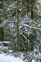 A rare snowfall covers the ancient cedar trees at Macmillan Provincial Park near Port Alberni, BC Canada.