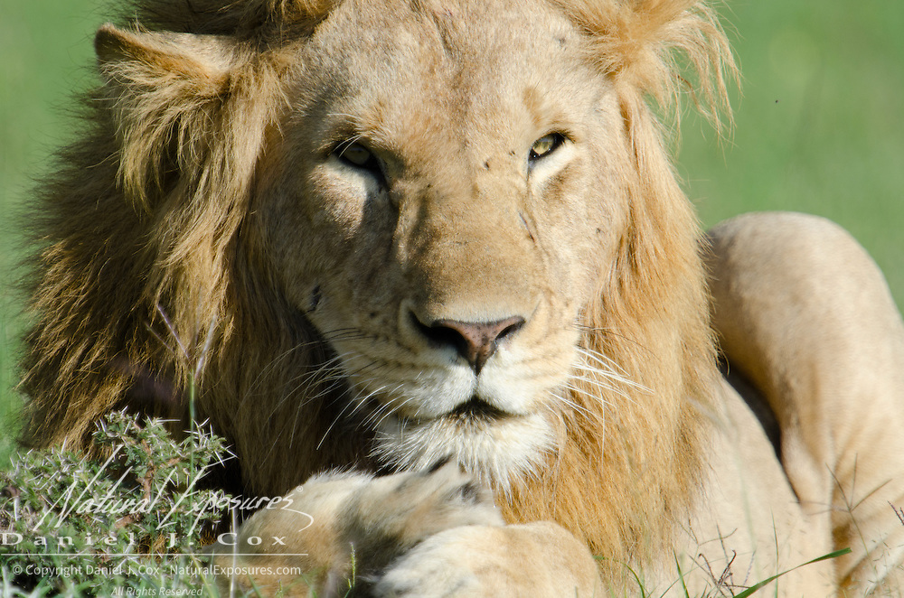 Portrait of a male African Lion.  Masai Mara National Reserve, Kenya, Africa