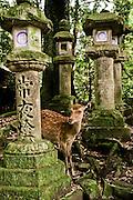 Sacred deer and stone lanterns at Kasuga Taisha.