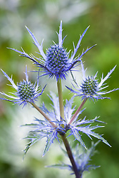 Eryngium × oliverianum AGM. Sea holly