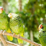 Green parrot.Quintana Roo, Mexico.