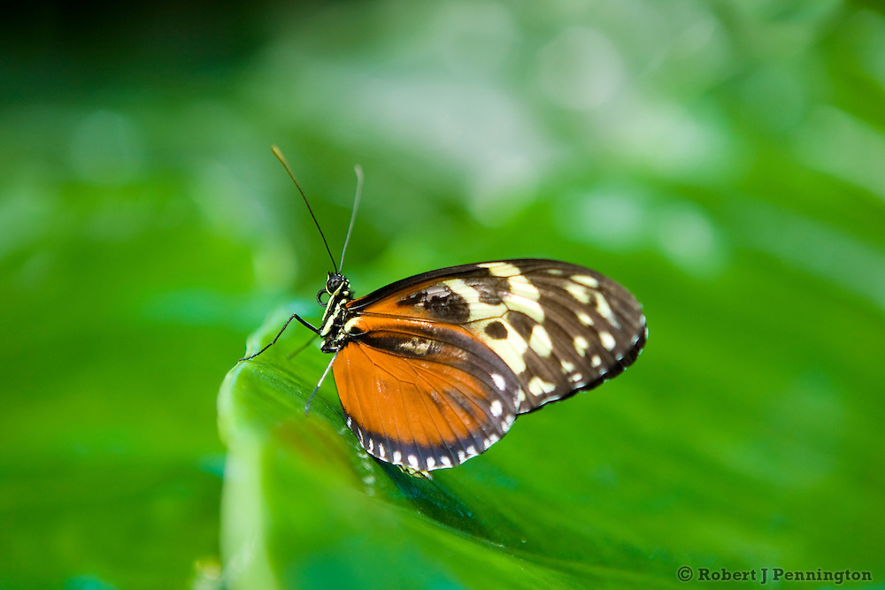A butterfly rests on the edge of a large green leaf.