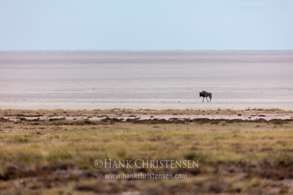 A blue wildebeest wanders out alone onto the Etosha Pan, Etosha National Park, Namibia.