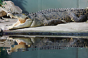 Darling Harbour. Sydney Aquarium. Salt water crocodile.