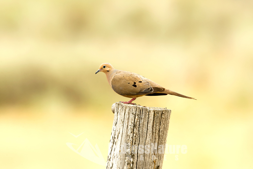 A Mourning Dove sits on a post in northern Utah resting after feeding in the sunflowers that line the local fields.