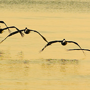 Flock of pelicans flying low over water at sunrise,Dangriga, Belize