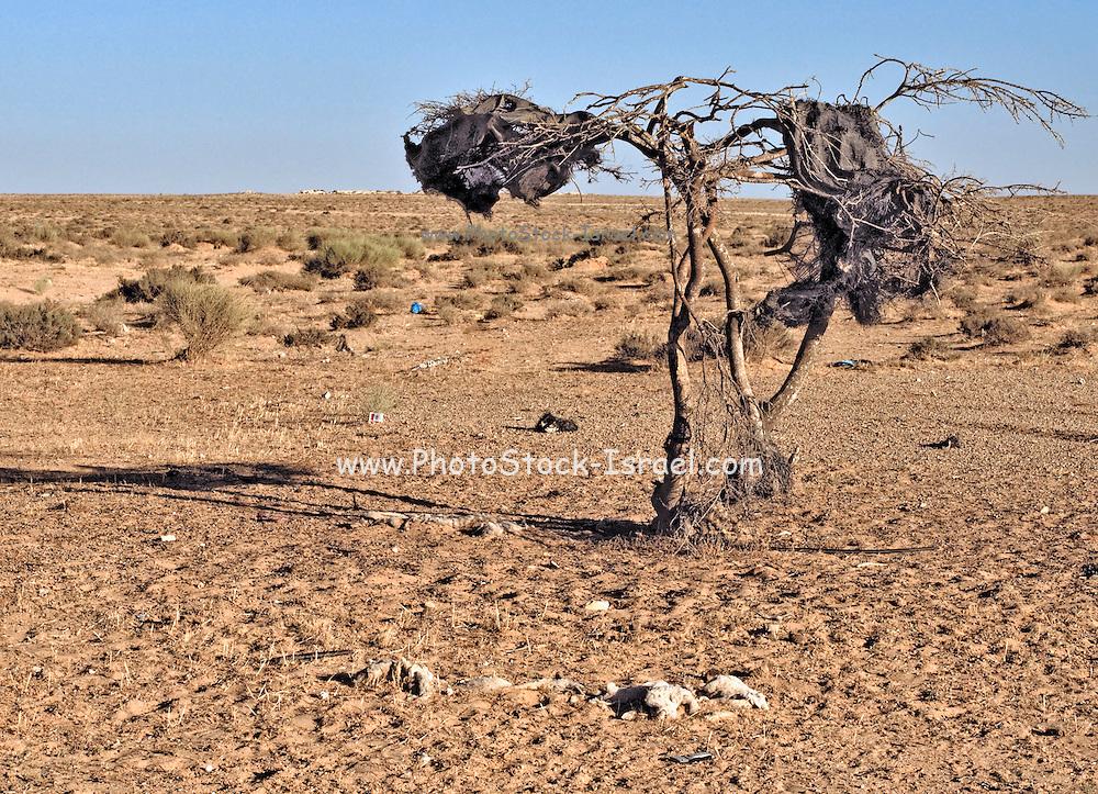 Israel, Negev Desert dead dry single tree