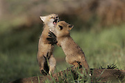 Red Fox kits captured in Wheat Ridge, Colorado.