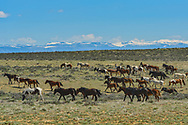 A herd of wild mustangs moves across the sage brush in between Cody and Greybull, Wyoming. I counted about 100 horses in this herd.