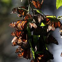 Temascaltepec, Mex.- Mariposas Monarca &quot;Danaus Plexippus&quot; invernan en los bosques de oyamel del santuario de Piedra Herrada, a 100 kil&oacute;metros al poniente de la ciudad de M&eacute;xico; la mariposa viaja mas de 5 mil kil&oacute;metros desde la regi&oacute;n de los grandes lagos en Canada y arriban en su ciclo migratorio mas de 300 millones de insectos a la biosfera de conservaci&oacute;n en los limites del Estado de M&eacute;xico y Michoac&aacute;n donde permanecen hasta finales del mes de Marzo. Agencia MVT / Arturo Rosales Ch&aacute;vez. (DIGITAL)<br /> <br /> <br /> <br /> NO ARCHIVAR - NO ARCHIVE