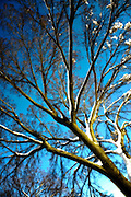 Bare tree with snow against blue sky