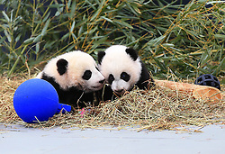 Giant panda twin cubs Jia Panpan (L) and Jia Yueyue pose for photos at the Toronto Zoo in Toronto, Canada, on March 7, 2016. The Toronto Zoo officially revealed the names of the first Canadian-born twin giant panda cubs on Monday: Jia Panpan (meaning Canadian Hope) for the male cub and Jia Yueyue(meaning Canadian Joy) for the female cub. Their mother, Er Shun, is on loan from China along with a male giant panda named Da Mao in 2013. EXPA Pictures © 2016, PhotoCredit: EXPA/ Photoshot/ Zou Zheng<br /> <br /> *****ATTENTION - for AUT, SLO, CRO, SRB, BIH, MAZ, SUI only*****