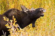 A young bull moose lifts his head to make his presence known to females