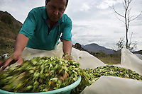 Hernei Ruiz has grown coca all his life. He now promotes the traditional use of coca. He is drying coca leaves in the sun. He lives in Lerma, a small coca producing community in the south of Cauca department. The region is controlled by the ELN guerrilla group. There's no official authority in town.