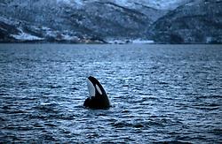 NORWAY TROMSO 5DEC15 - A pod of Orca whales spyhop in Kvaloya Sound near the arctic city of Tromso.<br /> <br /> jre/Photo by Jiri Rezac / Greenpeace<br /> <br /> © Jiri Rezac 2015