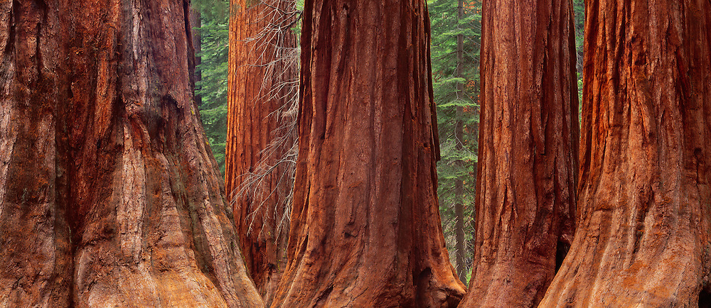Giant Sequoia trees, Mariposa Grove, Yosemite National Park, California