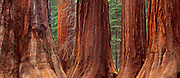 Giant Sequoia trees, Mariposa Grove, Yosemite National Park, California