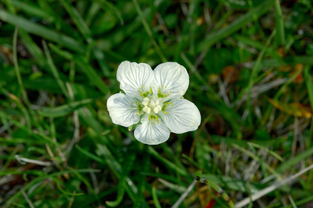 GRASS-OF-PARNASSUS Parnassia palustris (Saxifragaceae) Height to 25cm. Distinctive, tufted and hairless perennial of damp, peaty grassland, marshes and moors. FLOWERS are 15-20mm across and superficially buttercup-like, with 5 white petals and greenish veins; on upright stalks with clasping leaves (Jun-Sep). FRUITS are dry capsules. LEAVES are deep green; basal leaves are heart-shaped and stalked. STATUS-Locally common in N Britain and Ireland; scarce in, or absent from, the S.