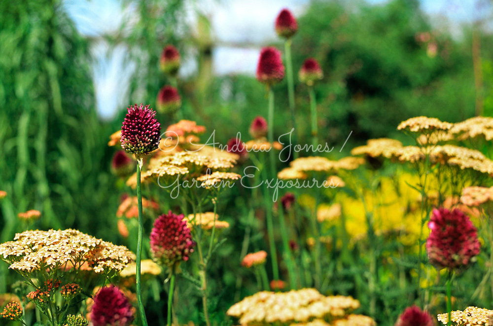 Mix of Allium and Achillea growing together
