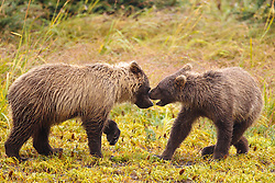 Pair of North American brown bear / coastal grizzly bear (Ursus arctos horribilis) cubs playing in a field, Lake Clark National Park, Alaska, United States of America
