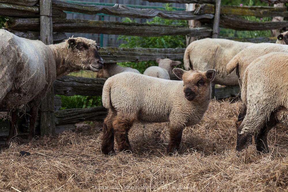 Heritage Shropshire sheep