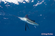 Atlantic sailfish, Istiophorus albicans ( considered by some to be a single species worldwide, Istiophorus platypterus ), bites a hookless teaser bait, off Yucatan Peninsula near Contoy Island and Isla Mujeres, Mexico ( Caribbean Sea )