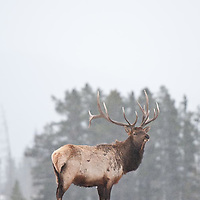bull elk with attitude glaring