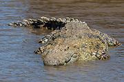 A giant nile crocodile (Crocodylus niloticus) from Mara River, Maasai Mara, Kenya.