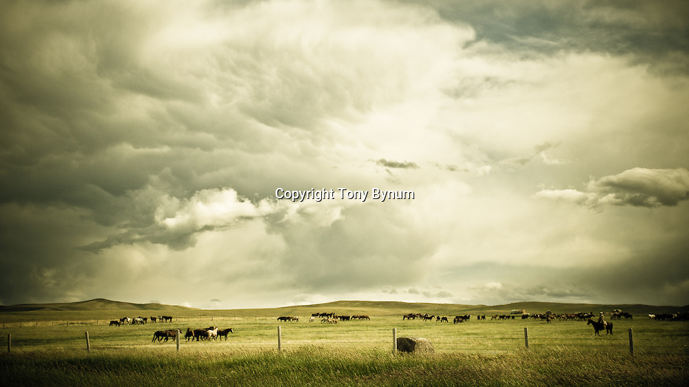 horses grazing under the watchfull eye of the horse boss, big sky montana,
