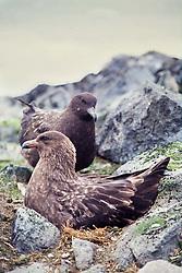 Skua ou gaivota rapineira (Catharacta antarctica)/ Brown Skua (Catharacta antarctica). Elephant Island