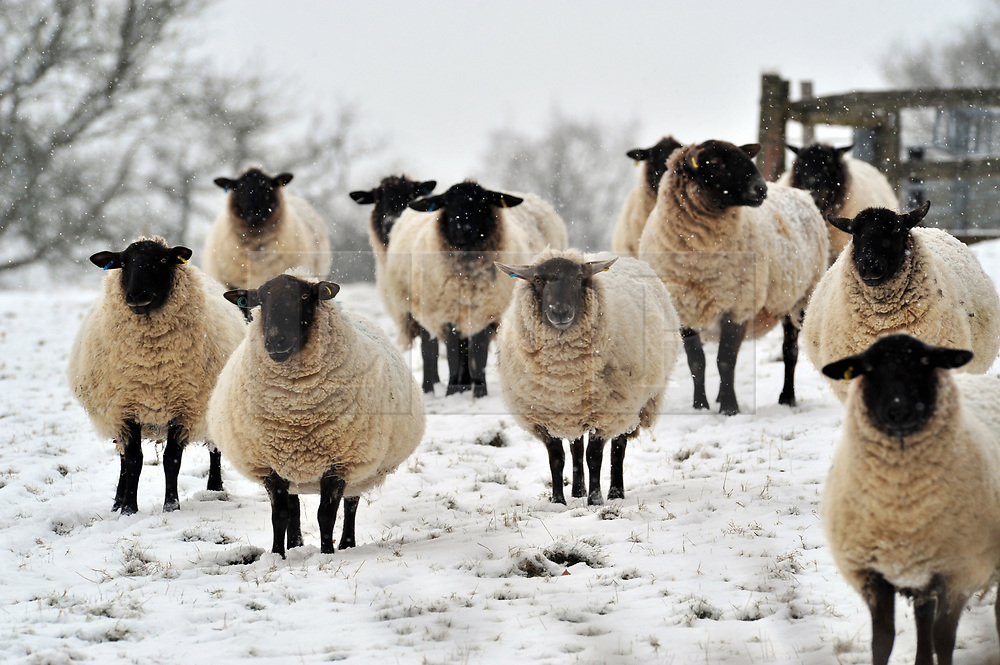 © Licensed to London News Pictures.27/02/2018<br /> SEAL CHART,SEVENOAKS, UK.<br /> Sheep in the snow at Seal Chart near Sevenoaks in Kent.<br /> Photo credit: Grant Falvey/LNP