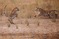 Bengal tiger (Panthera tigris tigris) cubs play by a watering hole in Bandhavgarh National Park, India.