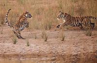 Bengal tiger (Panthera tigris tigris) cubs play by a watering hole in Bandhavgarh National Park, India.