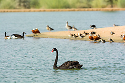 Wild birds at new Al Qudra lakes desert oasis, a manmade system of lakes and ponds , in Dubai United Arab Emirates