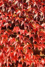 Wilde wingerd, Parthenocissus spec.