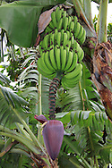 Bananas, Costa Rica.<br />